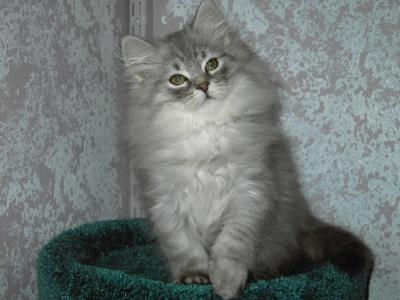 """Siberian Cats — """"Charodey"""" Cattery :: The Cattery of ..."""